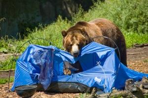 Bear Affair 2010